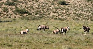 Gemsbok, Oryx-gazella in Kalahari stock videobeelden