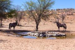 Gemsbok, Oryx gazella in kgalagadi. Gemsbok, Oryx gazella,dominant Gemsbok antelope in the park, Kgalagadi, South Africa. Gemsbok drinking from water hole Royalty Free Stock Photography