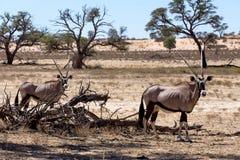 Gemsbok, Oryx gazella Stock Photo