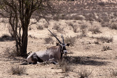 Gemsbok, Oryx gazella Stock Photo