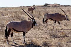 Gemsbok, Oryx gazella. Kgalagadi Transfrontier Park, Namibia, true wildlife Royalty Free Stock Photo