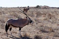 Gemsbok, Oryx gazella. Kgalagadi Transfrontier Park, Namibia, true wildlife Royalty Free Stock Photography