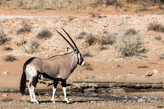 Gemsbok, Oryx gazella Royalty Free Stock Photo