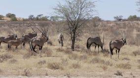 Gemsbok, Oryx gazella, Kgalagadi Transfrontier Park stock video footage
