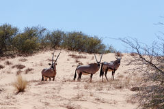 Gemsbok, Oryx-gazella op zandduin Royalty-vrije Stock Foto's