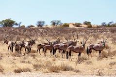 Gemsbok, Oryx gazella on sand dune. Kgalagadi Transfrontier Park, Botswana, true wildlife Royalty Free Stock Photography
