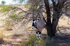 Gemsbok, Oryx gazella on sand dune. Kgalagadi Transfrontier Park, Botswana, true wildlife stock images
