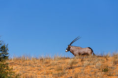 Gemsbok, Oryx gazella on sand dune Royalty Free Stock Photography