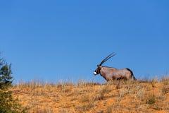 Gemsbok, Oryx gazella on sand dune Royalty Free Stock Photography