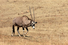 Gemsbok, Oryx gazella Stock Photography