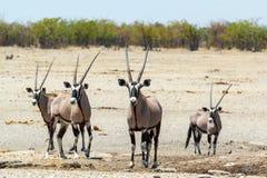 Gemsbok, Oryx gazella w sawannie Obrazy Stock