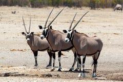 Gemsbok, Oryx gazella on waterhole. Gemsbok, Oryx gazella, on waterhole, dominant Gemsbok antelope in the park, Etosha, Namibia Royalty Free Stock Images
