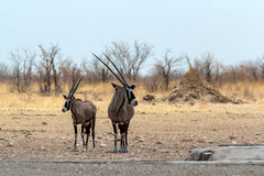 Gemsbok, Oryx gazella on waterhole. Gemsbok, Oryx gazella, on waterhole, dominant Gemsbok antelope in the park, Etosha, Namibia Royalty Free Stock Photo