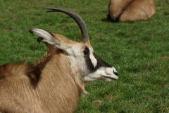 Gemsbok - Oryx gazella Stock Photos