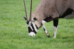 Gemsbok - Oryx gazella Stock Images
