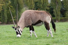 Gemsbok - Oryx gazella Royalty Free Stock Photos