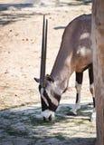 Gemsbok oryx gazella. At the zoo Royalty Free Stock Photos