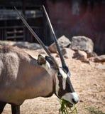 Gemsbok oryx gazella. At the zoo Stock Images