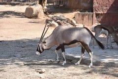 Gemsbok oryx gazella. At the zoo Stock Photos