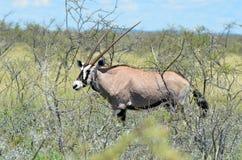 Gemsbok oryx gazelle Royalty Free Stock Photography