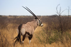 Gemsbok, Oryx gazelle Stock Photography