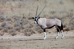 Gemsbok, Oryx gazelle in the Kalahari, South Africa. The male Gemsbok, Oryx gazelle in the Kalahari, South Africa Stock Photo