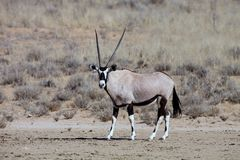 Gemsbok, Oryx gazelle in the Kalahari, South Africa. The singl Gemsbok, Oryx gazelle in the Kalahari, South Africa Stock Photo