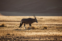 Gemsbok Oryx grazes in Namibian Desert Royalty Free Stock Images