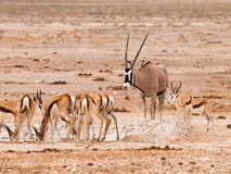Gemsbok Oryx and herd of impalas at waterhole Stock Image