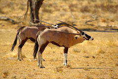 Südliche afrikanische Tiere Stockbild