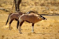 Southern african animals. Gemsbok (Oryx) at Kgalagadi Transfrontier Park Stock Image
