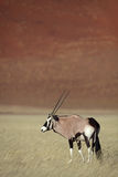 Gemsbok oryx in Namib Desert Royalty Free Stock Photography