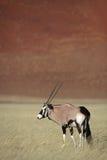Gemsbok oryx in Namib Desert. Gemsbok oryx antelope in front of red sand dunes of Sossusvlei, Namib desert, Namibia, Southern Africa royalty free stock photography
