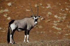Gemsbok oryx, Namib desert dunes. Gemsbok oryx (Oryx gazella), Sossusvlei, Namib-Naukluft National Park, Namibia stock images