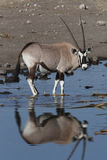 Gemsbok (Oryx) - Namibie Images stock