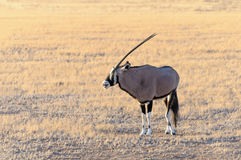 Gemsbok (Oryx) no parque nacional de Namib-Naukluft Foto de Stock