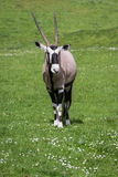 Gemsbok (Oryx)- Oryx gazella Stock Photos