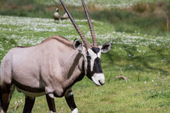 Gemsbok (Oryx)- Oryx gazella Royalty Free Stock Photos