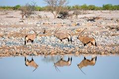 3 gemsbok oryx przy waterhole Zdjęcie Stock