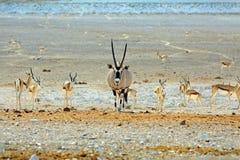 Gemsbok Oryx przy waterhole otaczającym czarnym stawiającym czoło Impala Obrazy Royalty Free