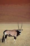 Gemsbok oryx by red desert dunes of Sossusvlei. Gemsbok oryx antelope, Sossusvlei, Namib-Naukluft National Park, Namib Desert, Namibia, Southern Africa stock images