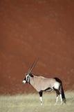 Gemsbok oryx by red desert dunes of Sossusvlei. Gemsbok oryx antelope, Sossusvlei, Namib-Naukluft National Park, Namib Desert, Namibia, Southern Africa stock photos