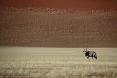 Gemsbok oryx in the red desert of Sossusvlei. Gemsbok oryx antelope in front of the dunes of Sossusvlei, Namib Naukluft National Park, Namibia, SW Africa stock photo