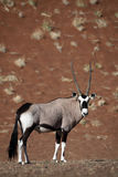 Gemsbok oryx in red dunes of Namib desert. Gemsbok oryx antelope male, Sossusvlei, Namib-Naukluft NP, Namibia, Southern Africa Stock Photos