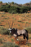 Gemsbok oryx in red Kalahari desert dunes Royalty Free Stock Photos