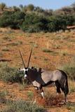 Gemsbok oryx in red Kalahari desert dunes Royalty Free Stock Photos