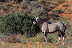 Gemsbok oryx in red Kalahari desert dunes Stock Images