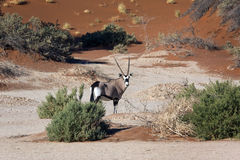 Gemsbok (Oryx) - Sossusvlei in Namibia. A Gemsbok (Oryx) in the Namib-nuakluft desert near Sossusvlei in Namibia Stock Photography