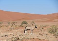 Gemsbok oryx - Sossusvlei - Namibia. 2017 - hot - desert - day royalty free stock images