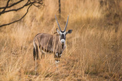 Gemsbok oryx in South Africa Royalty Free Stock Photos